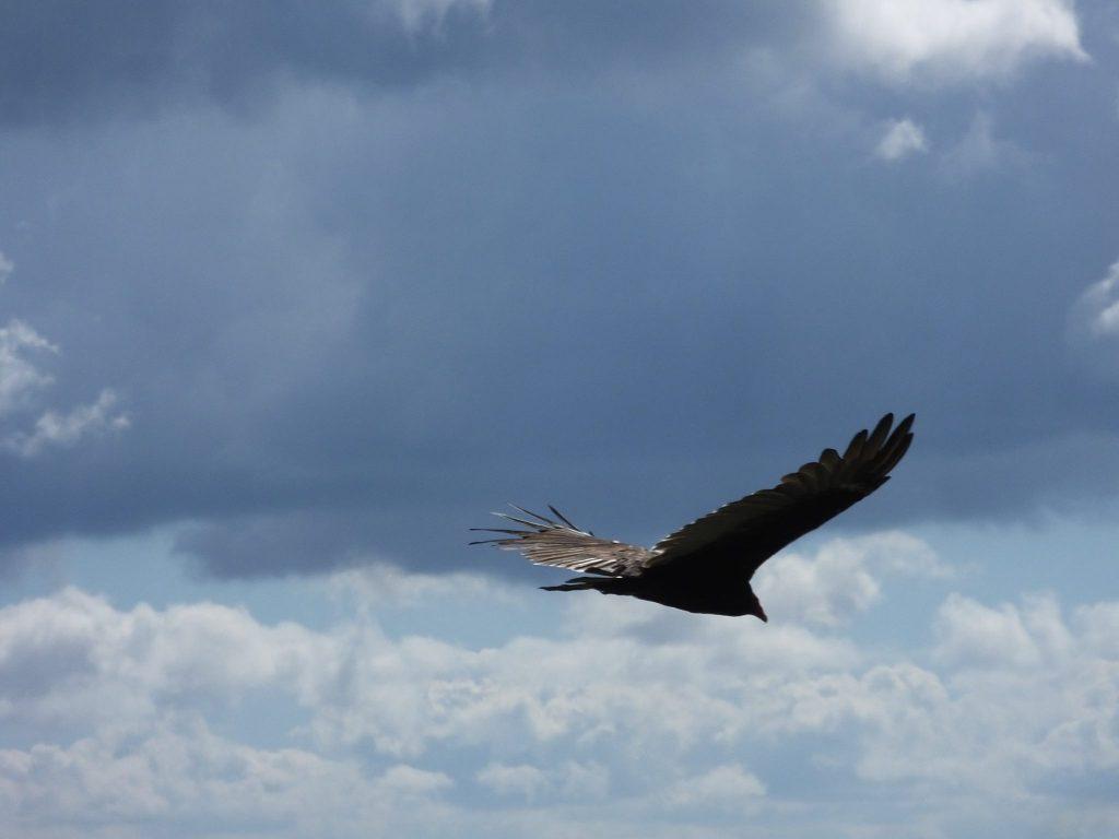 Hawkwatch Turkey Vulture by Anna Butler