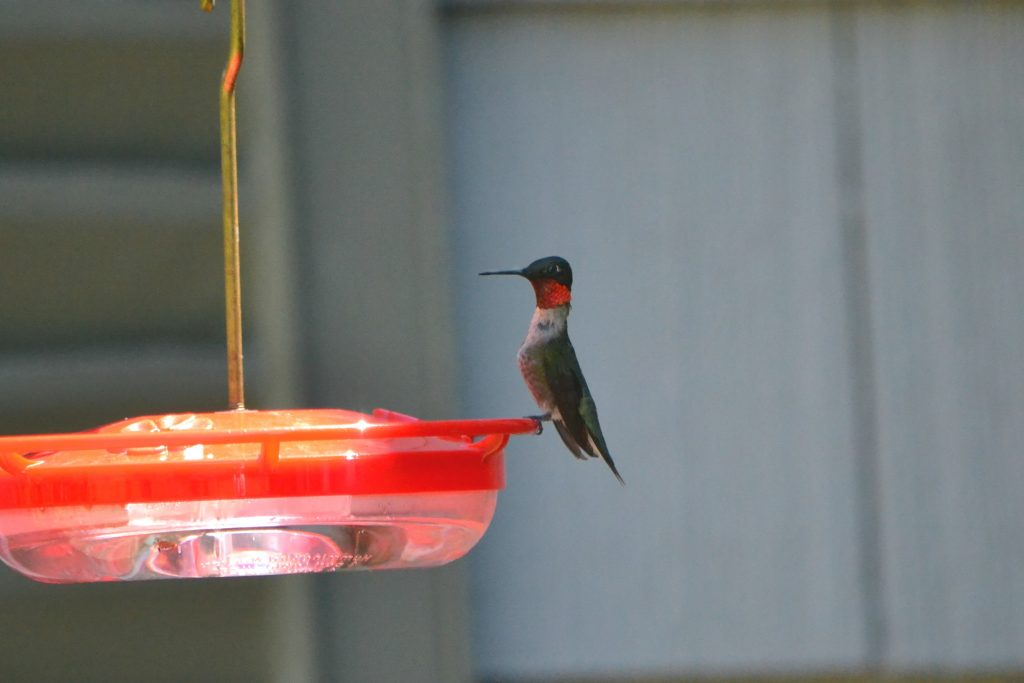 Male Ruby-throated Hummingbird by Holly Ellerbusch