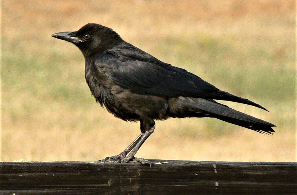 American Crow & Raven