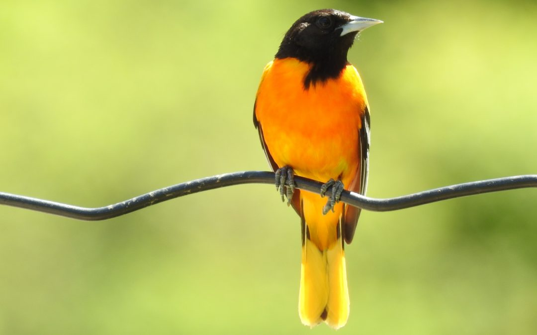 Baltimore & Orchard Oriole