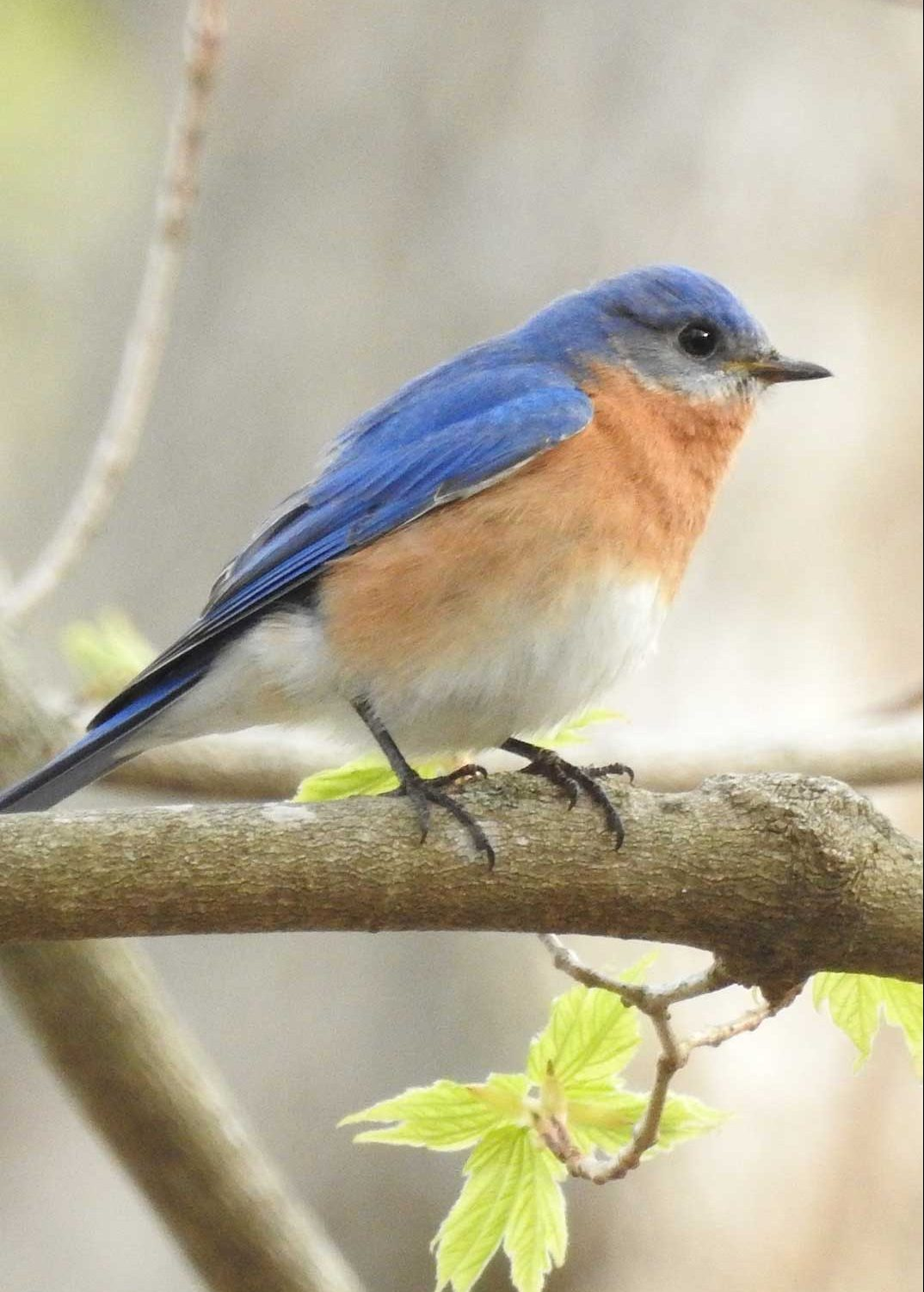 Eastern Bluebird - North Salem - Tait Johansson