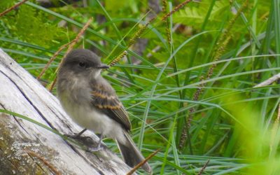 Eastern Phoebe & Wood-Pewee