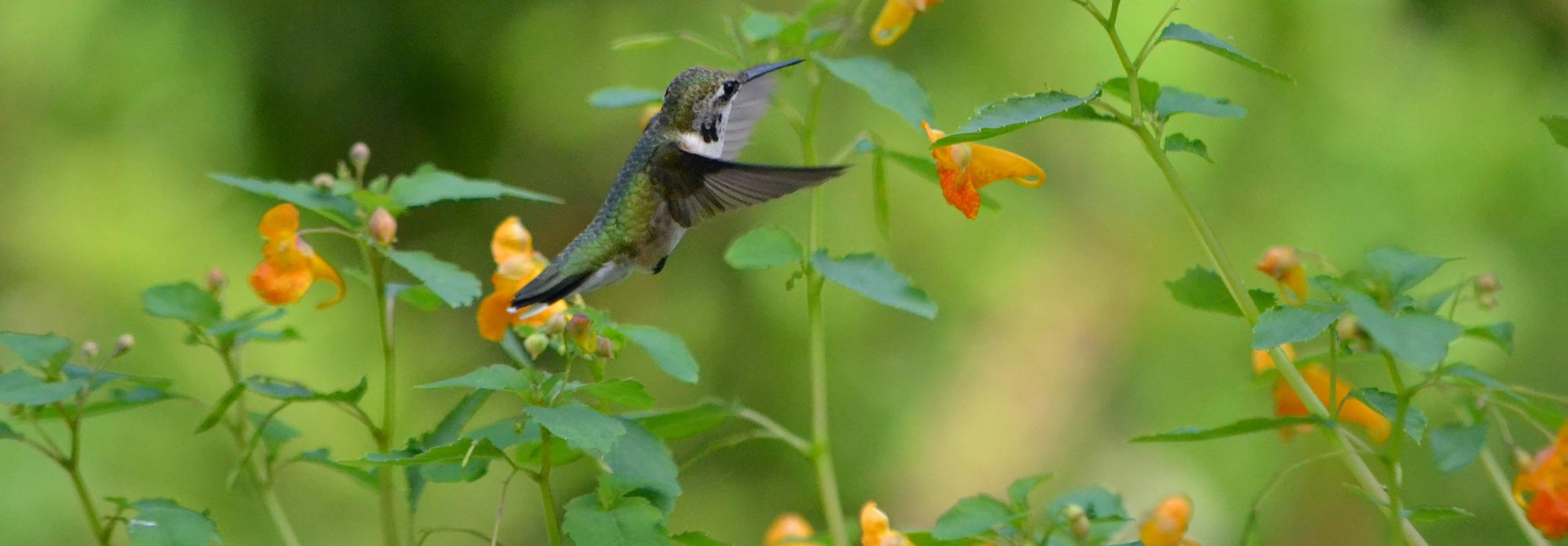 Ruby-throated Hummingbird at Jewelweed by Holly Ellerbusch