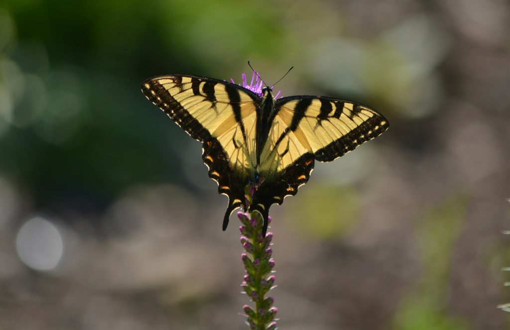 Tiger Swallowtail by Holly Ellerbusch