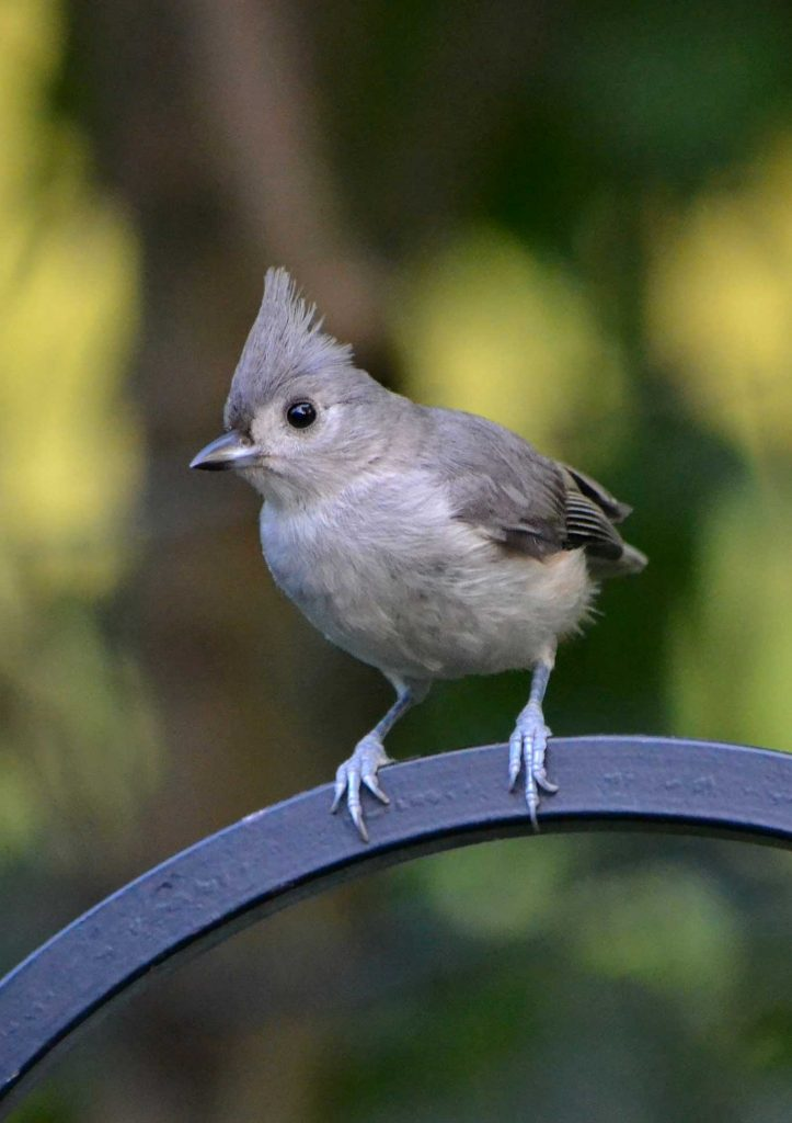 Tufted Titmouse by Holly Ellerbusch
