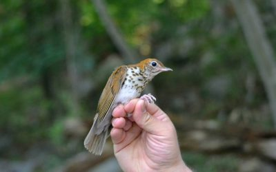 Wood Thrush & Veery