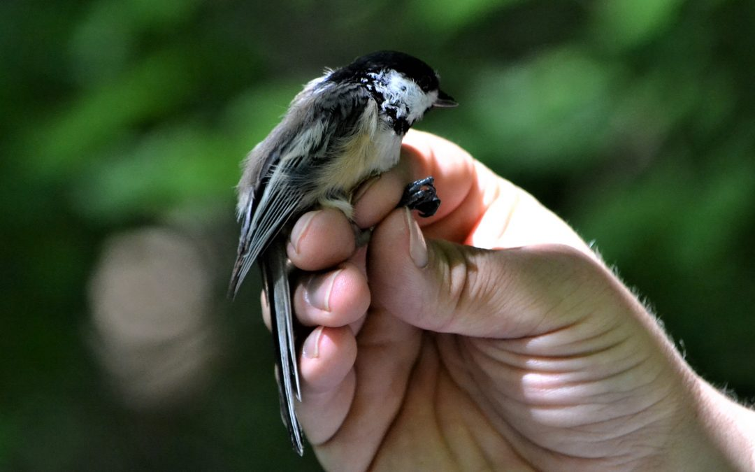 Bird Bling: The Why & How of Bird Banding Research