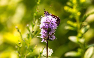 Pollinators of the Leon Levy Native Garden
