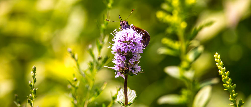 Pollinators of the Leon Levy Native Garden