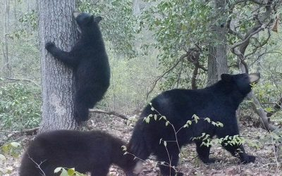 Lecture: Bears in Our Backyards with Budd Veverka