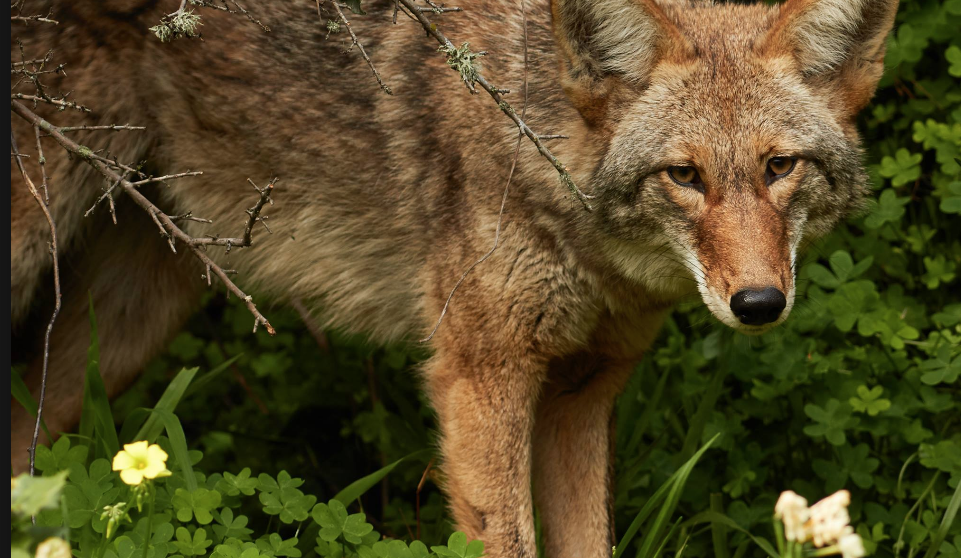 Annual Meeting and Public Lecture: Coyotes in our Cities & Suburbs with Carol Henger