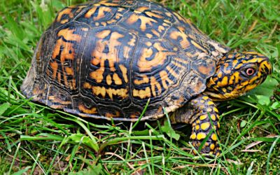 Lecture: Kendall O'Connell on Freshwater Turtles in New York
