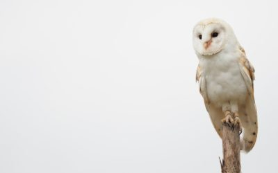 Burritos for Barn Owls – A Fundraiser