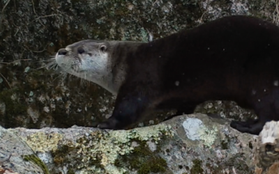 November Lecture: Learn About Local River Otters