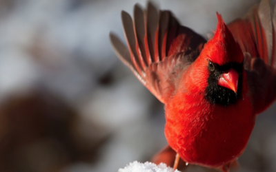 It's Christmas Bird Count Time!