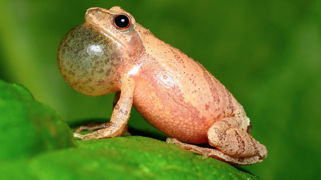 Wildlife: Protecting the Peeper